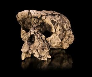 sahelanthropus-300x252