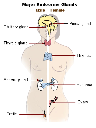 Illu_endocrine_system_New